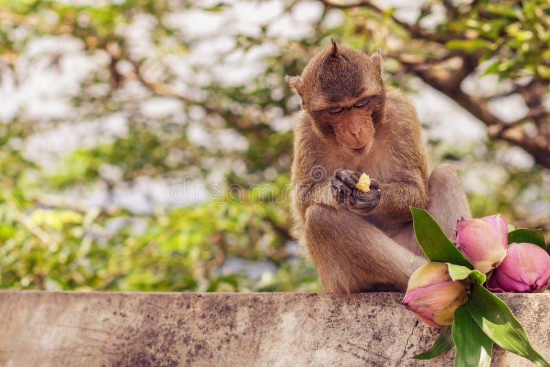 Affen leben im Tempel lizenzfreies stockbild