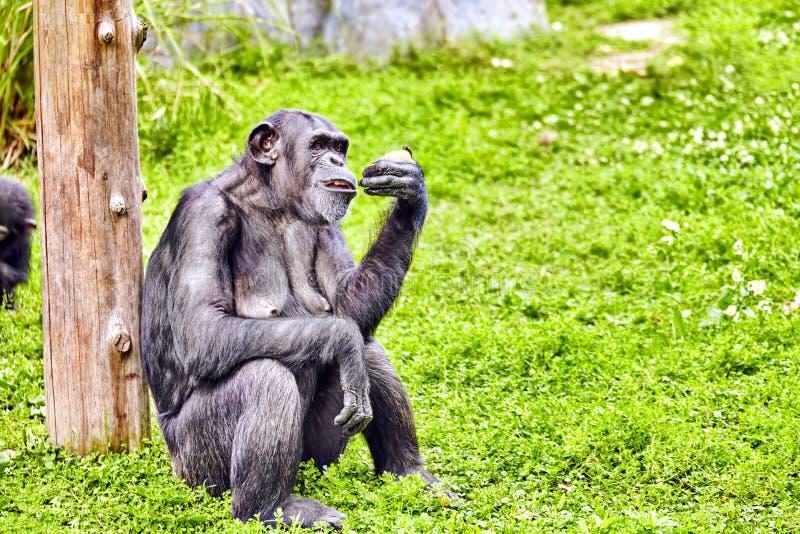 Affen - Schimpanseaffe stockbild. Bild von schimpanseaffe