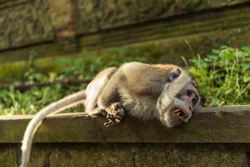 Affen in Ubud Bali lizenzfreie stockfotos