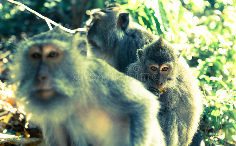 Affen in Ubud Bali lizenzfreie stockbilder