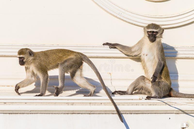 Affen zwei Dach-Tiere lizenzfreies stockbild