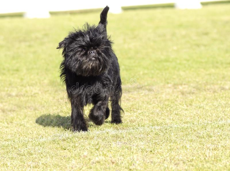 Affenpinscher dog. A small young black Affenpinscher dog with a short shaggy wire coat walking on the grass. The Affie looks like a monkey and is an active stock images