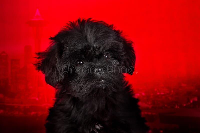 Affenpinscher szczeniak, portret na czerwonym tle zdjęcie royalty free