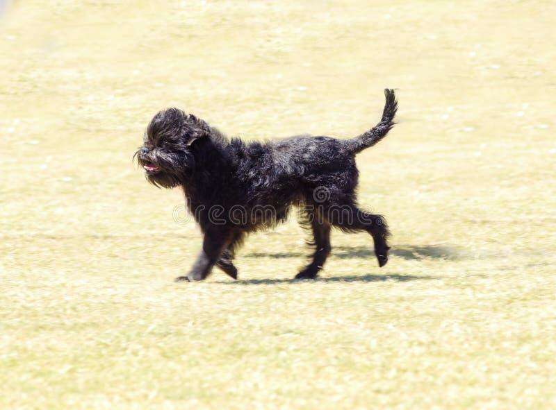 Affenpinscherhond royalty-vrije stock afbeelding