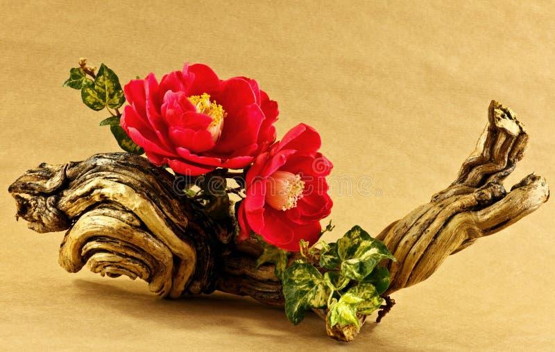Affichage de fleur de camélias image libre de droits