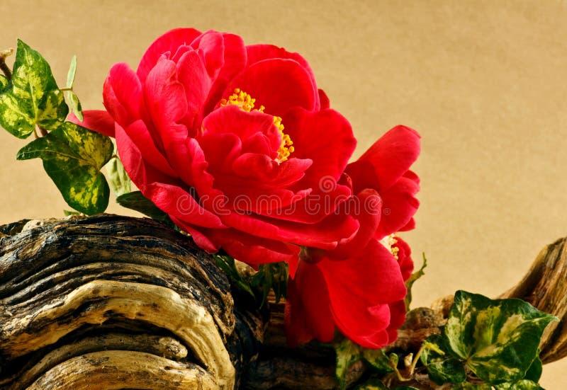 Affichage de fleur de camélias image stock