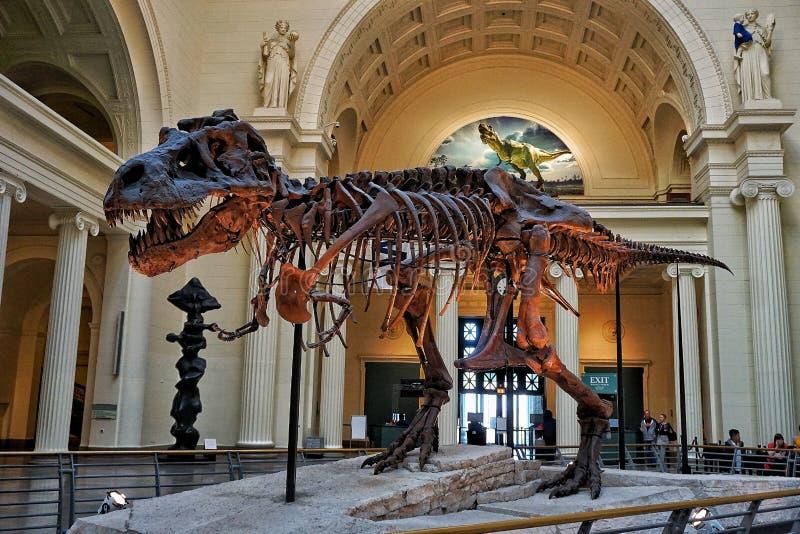 Affichage du dinosaure T Rex en musée de The Field photographie stock libre de droits