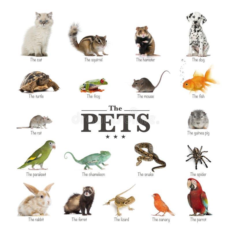 Affiche des animaux familiers en anglais