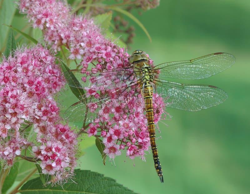 Affinis Aeshna Dragonfly (женские) стоковая фотография rf