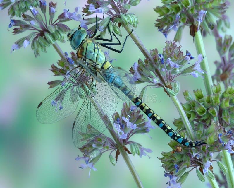 Affinis Aeshna Dragonfly (мужчина) стоковые изображения