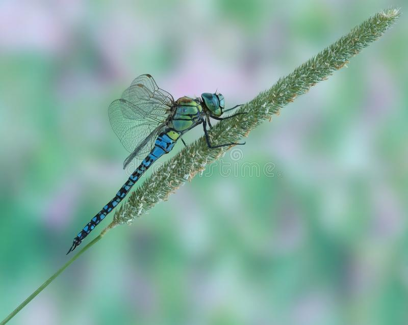 Affinis Aeshna Dragonfly (мужчина) стоковые фотографии rf