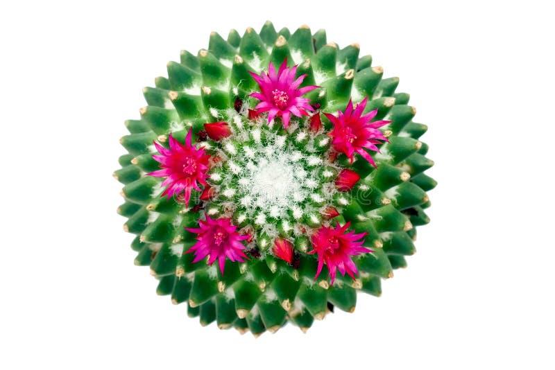 Affinis do Mammillaria do cacto imagem de stock royalty free