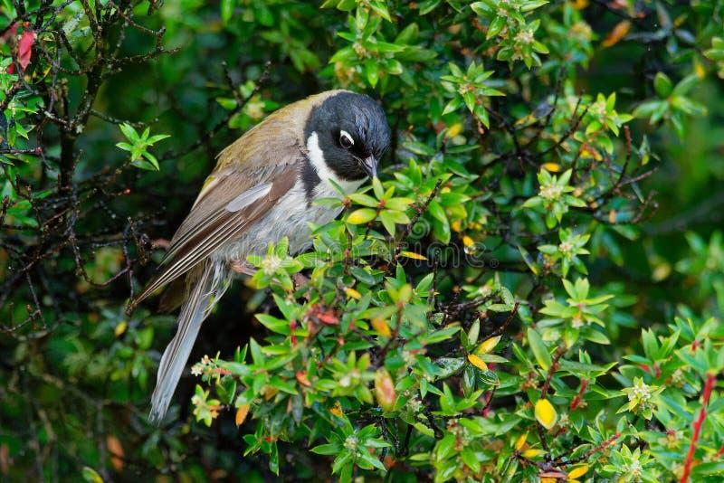Affinis Met zwarte kop van Honeyeater Melithreptus is species van vogel in de familie Meliphagidae Het is één van twee leden van  royalty-vrije stock afbeeldingen