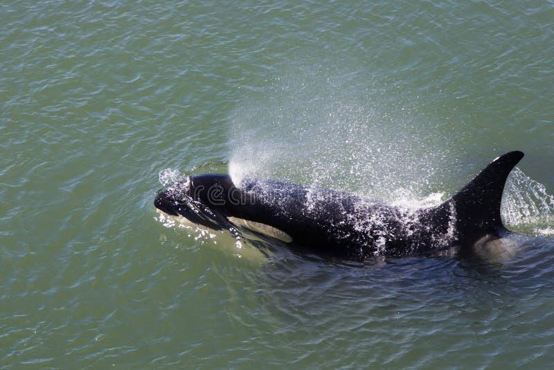 Affioramento dell'orca immagini stock