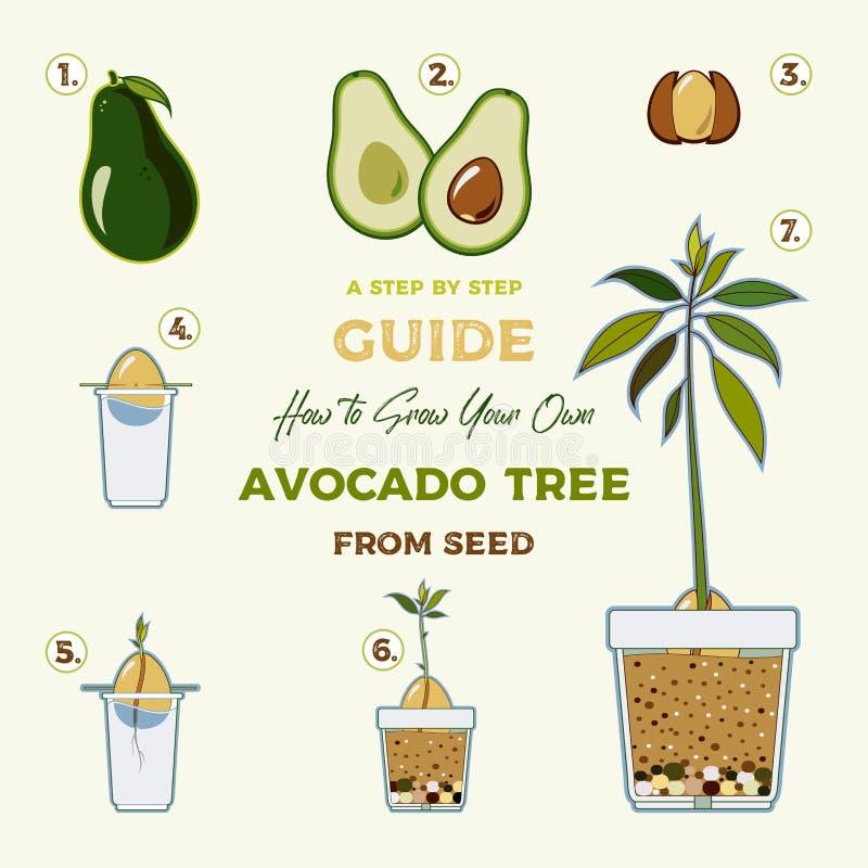 Affisch för handbok för vektor för avokadoträd växande Grön enkel anvisning att växa avokadoträdet från kärnar ur Avokadolivcirku stock illustrationer