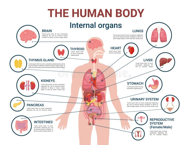 Affisch för information om inre organ och om delar för människokropp stock illustrationer