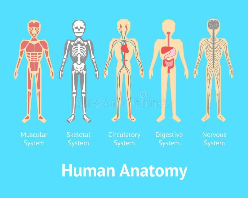 Affisch för kort för system för tecknad filmfärg mänsklig anatomisk vektor royaltyfri illustrationer