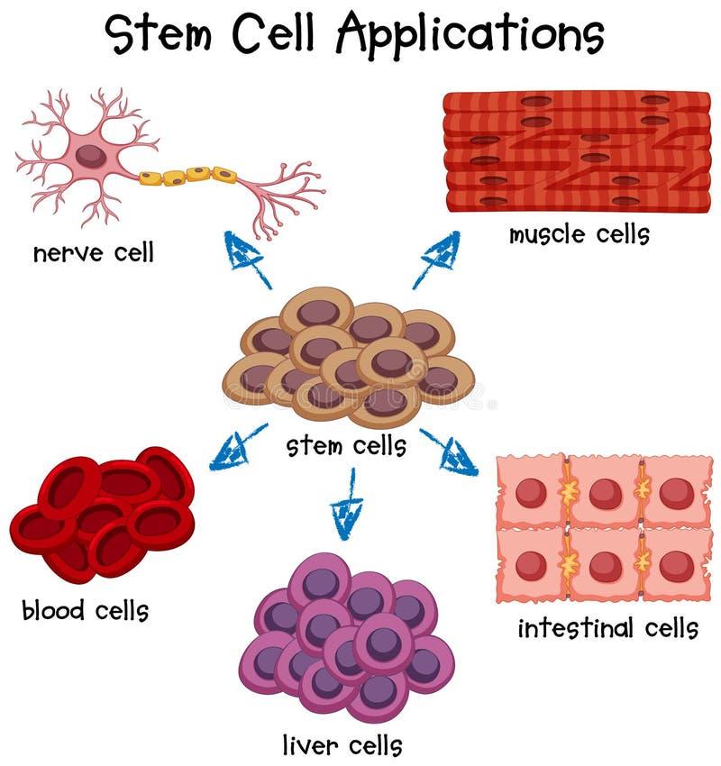 Affisch som visar olika applikationer för stamcell vektor illustrationer