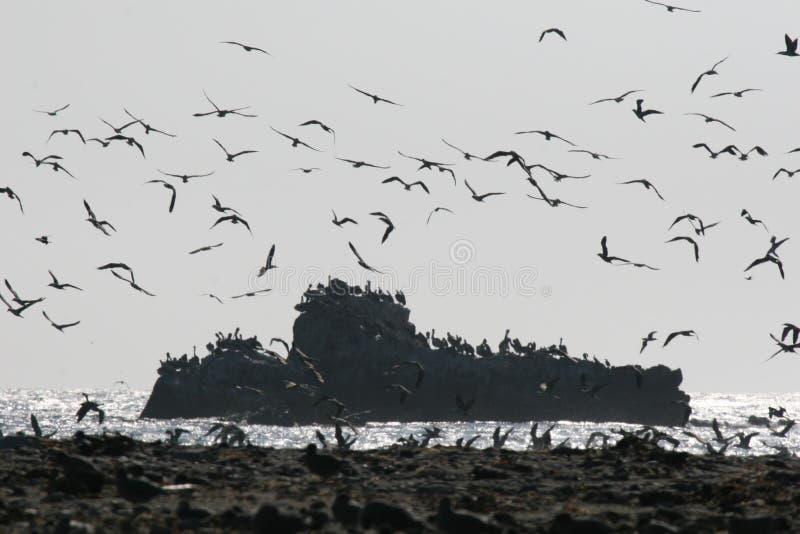 Affleurement rocheux avec des oiseaux volant dans la réserve nationale de Paracas au Pérou photo stock