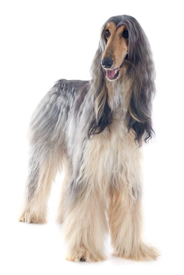Afgańczyka pies zdjęcia stock