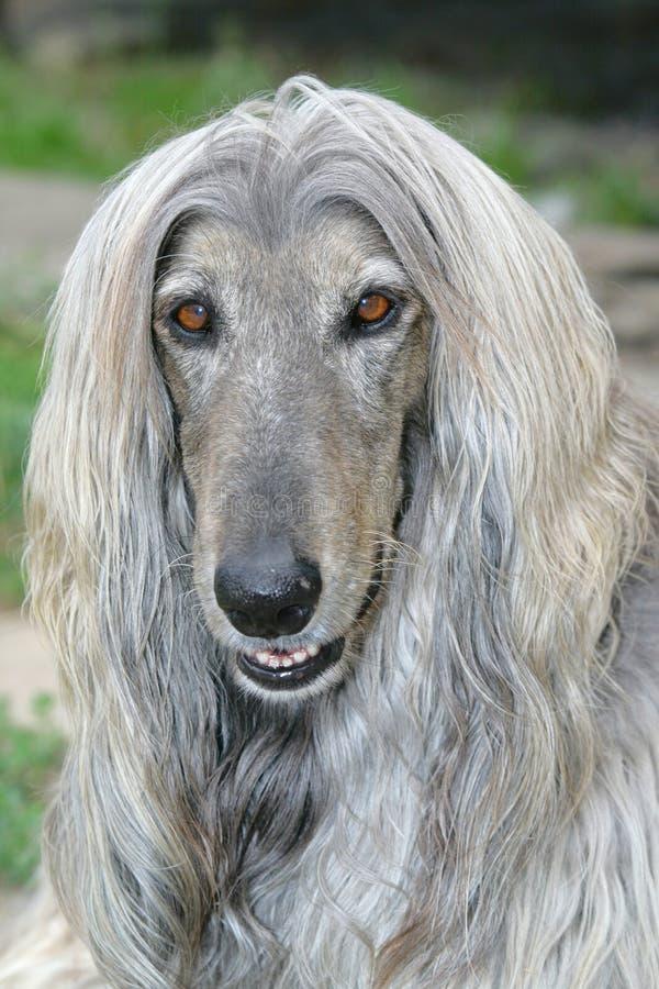afgański psa głowy pies fotografia royalty free
