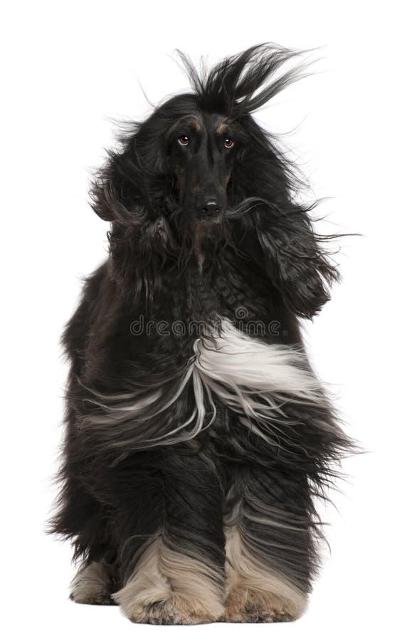 afgański włosy ogara jego wiatr obrazy stock