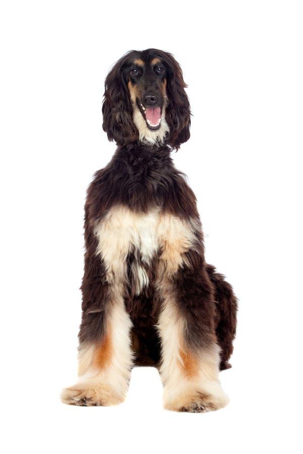 Afgan-hound dog. Isolated on white background royalty free stock image