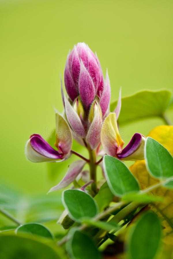 Afgekia sericea Craib. Beautiful Afgekia purple flower blooming stock image