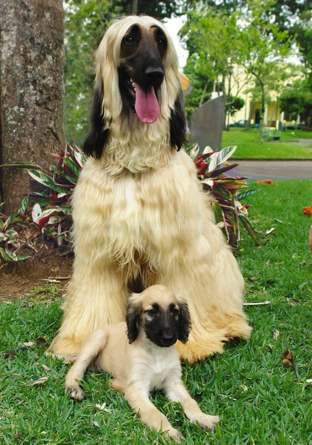 Afghaans hondenpuppy en zijn papa royalty-vrije stock foto