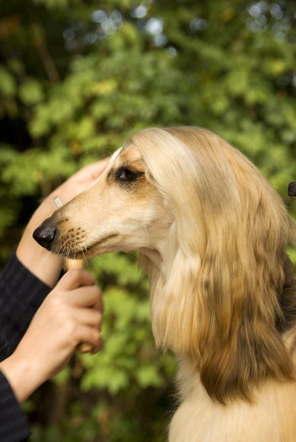 Afghaanse Hond royalty-vrije stock afbeeldingen