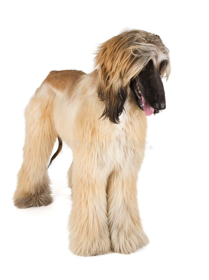 Afghaanse Hond stock foto's