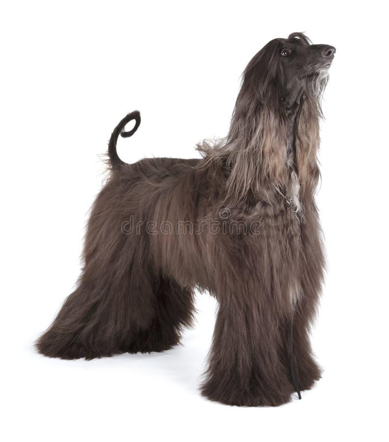 Afghaanse Hond stock afbeelding