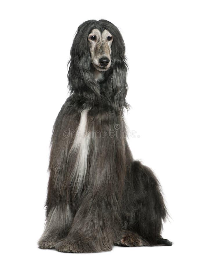 Afghaanse hond, 7 jaar oud stock afbeelding