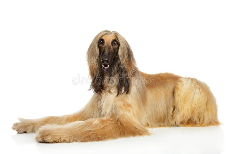 Afghaanse hond op witte achtergrond royalty-vrije stock afbeeldingen