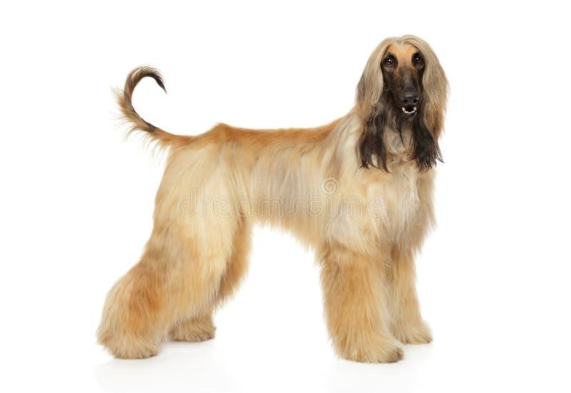 Afghaanse hond in tribune op witte achtergrond royalty-vrije stock foto