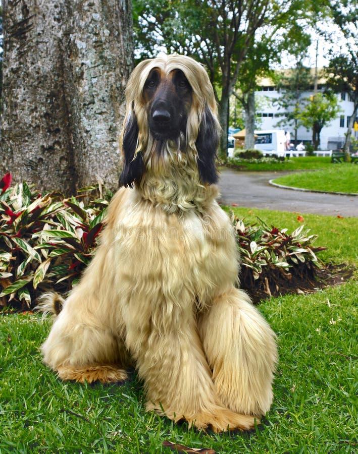 Afghaanse hondenvolwassene royalty-vrije stock afbeeldingen