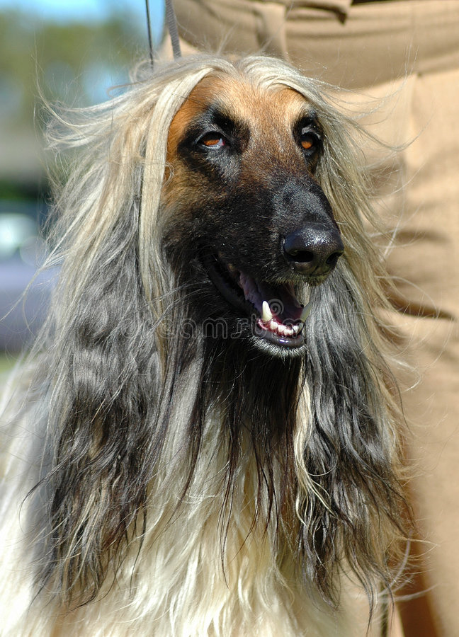 Afghan. A beautiful longhaired Afghan hound dog head portrait with cute expression in the pretty face watching other dogs in the park outdoors royalty free stock photos
