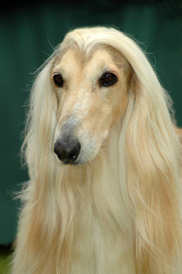 Afghan. A beautiful Afghan hound dog head portrait with sad expression in the face watching other dogs in the park
