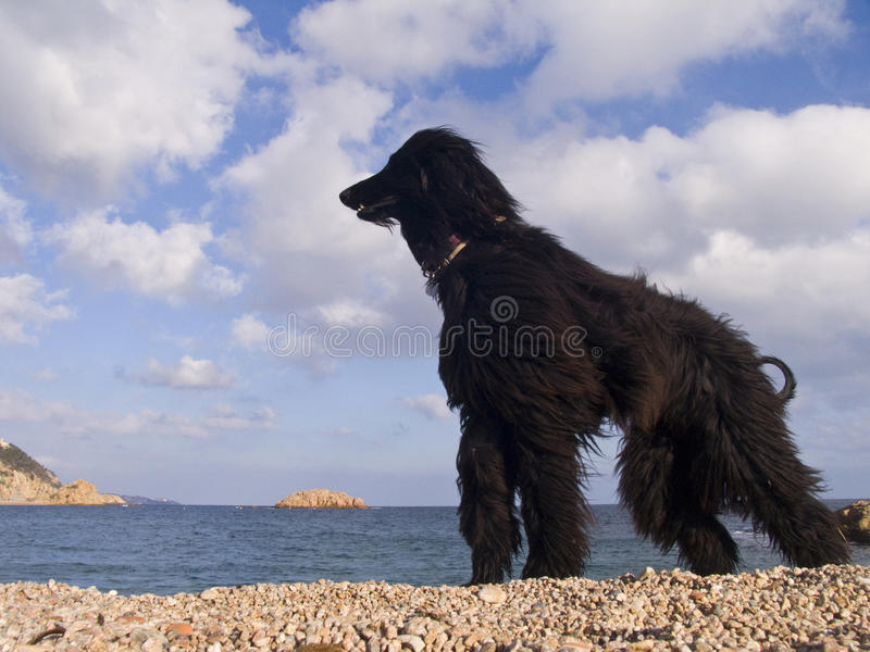 Download Afghan dog stock photo. Image of european, summer, costa - 12825508