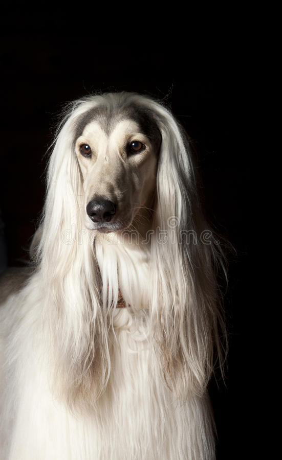 Download Afghan dog stock photo. Image of grooming, domestic, mammal - 22979038