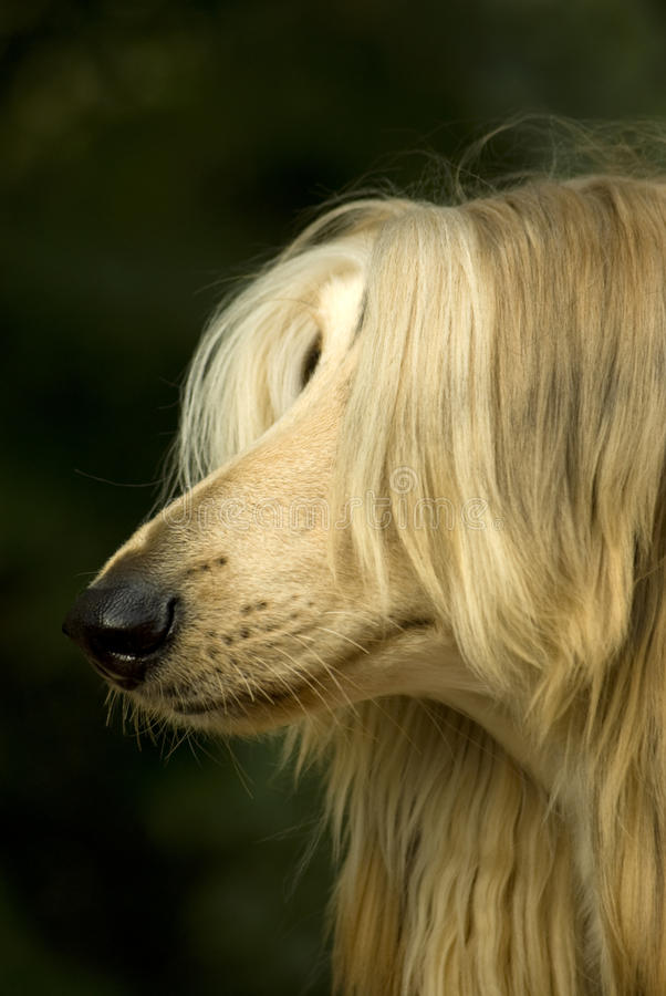 Afghan Hound. Beautiful dog, portrait of an Afghan Hound royalty free stock images
