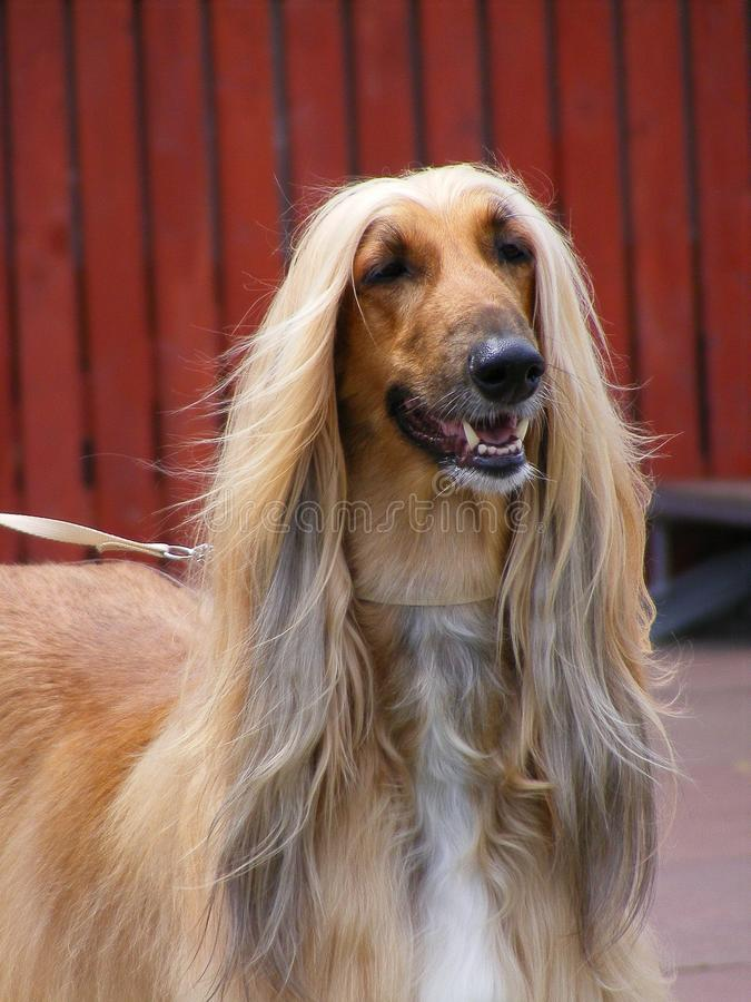 Download Afghan hound stock photo. Image of field, looking, attentive - 25721554