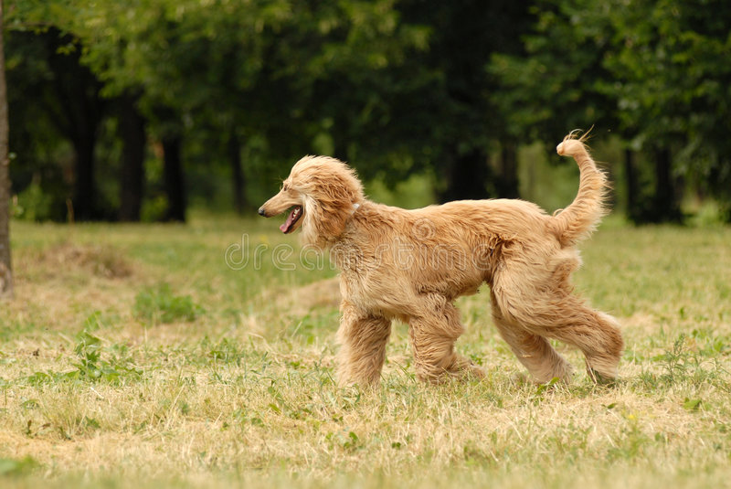 Download Afghan Hound stock image. Image of male, haired, afghan - 2825941