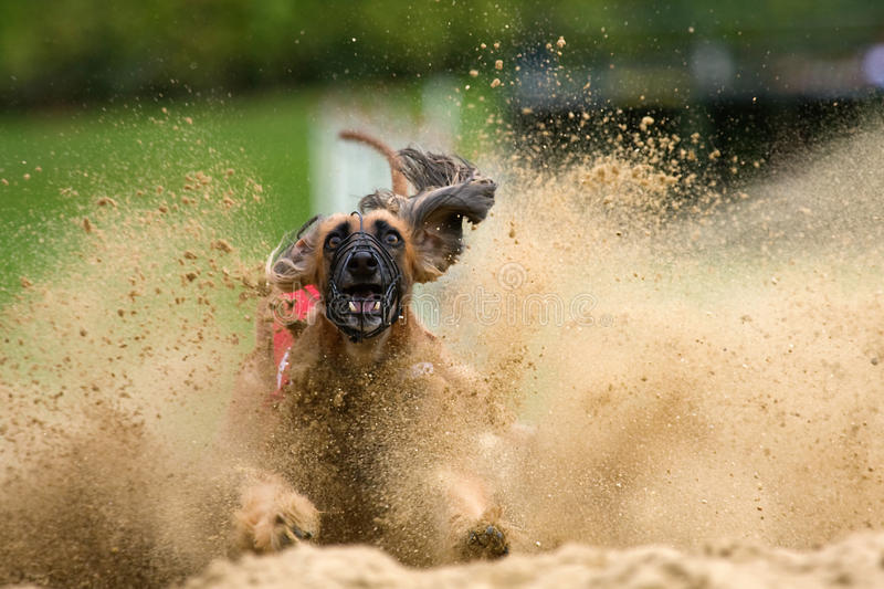 Afghan hound brakes in a sandpit royalty free stock images