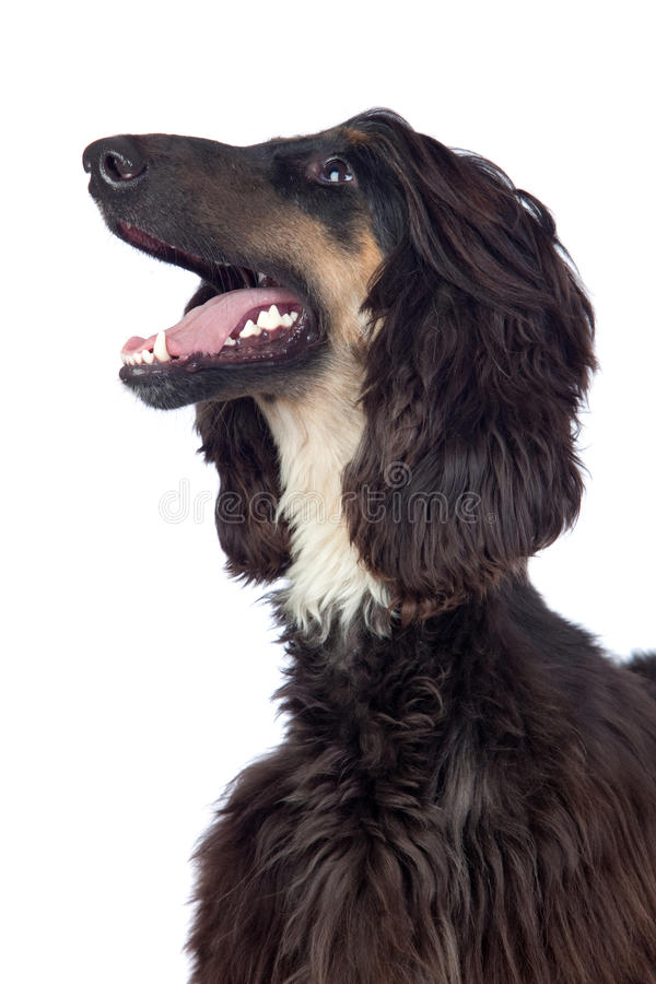 Afghan-Hound Dog Royalty Free Stock Image