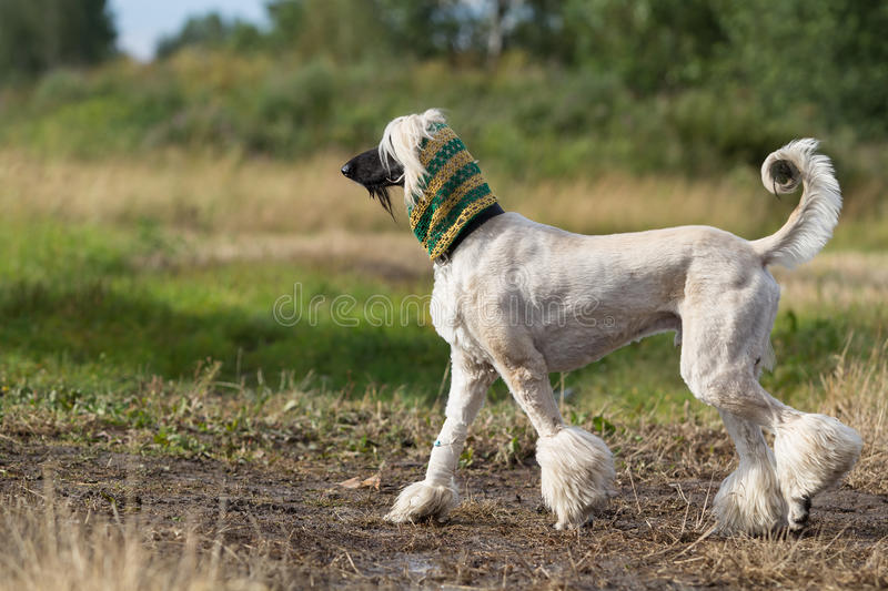Download Afghan Hound dog stock photo. Image of hound, field, afghan - 25924534