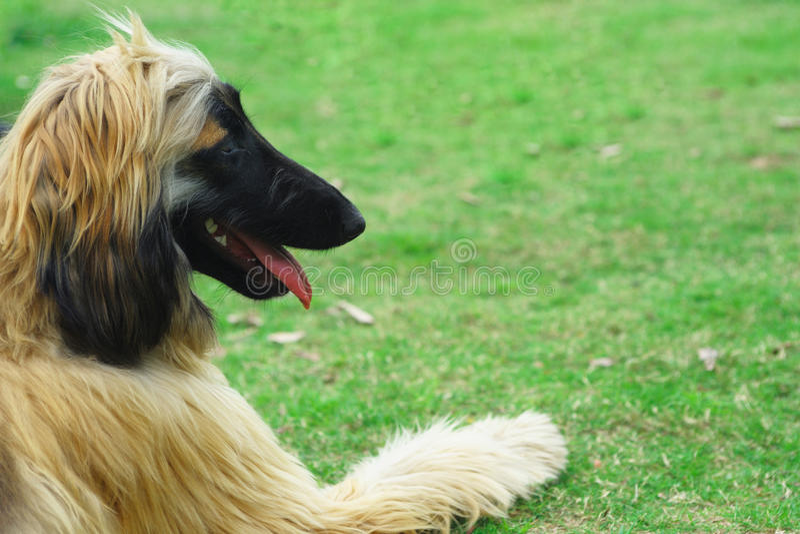 Download Afghan hound dog stock image. Image of animal, litter - 9842039