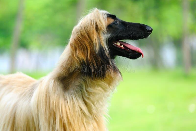 Afghan hound dog royalty free stock image