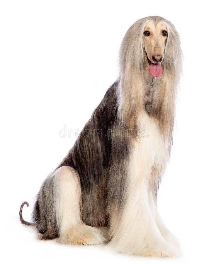 Afghan hound Dog Isolated on Black Background. In studio royalty free stock photos