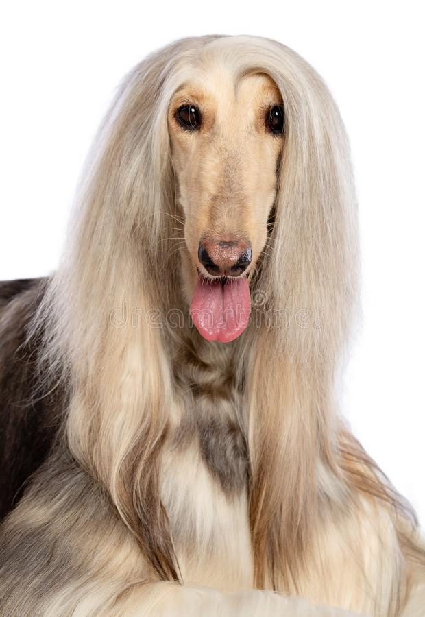 Afghan hound Dog Isolated on Black Background. In studio stock image